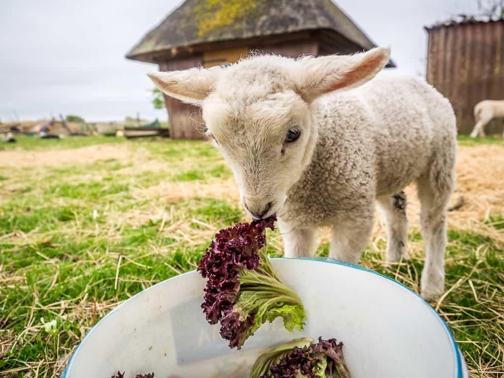 Kälbchen, welches Salat frisst