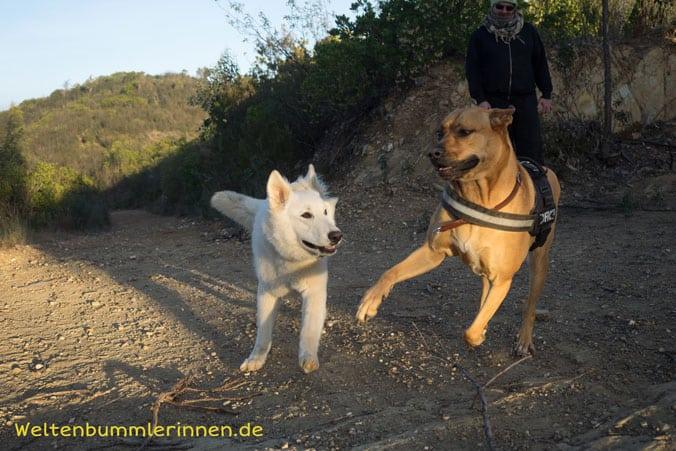 Tobende Hunde