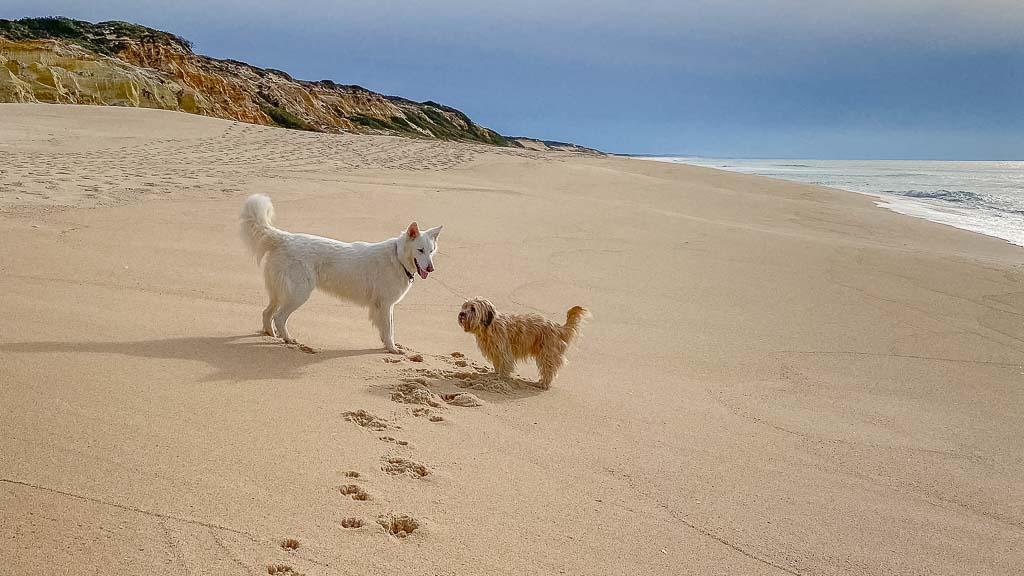 Im Winter und innerhalb der Woche sind portugals Strände dieses Frühjahr größtenteils menschenleer, so dass große und kleine Hunde ihren Spaß haben.