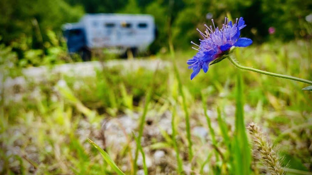 Black pearl im Hintergrund, Blume im Vordergrund